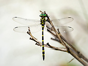 Tiger Spiketail dragonfly at rest