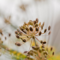 Dill seeds (Anethum graveolens)