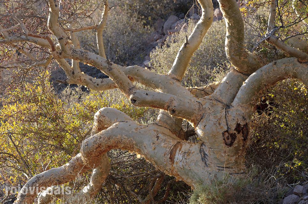 A torote tree (Bursera microphylla) shines as the sun sets in Isla del Carmen, Gulf of California. Baja California Sur, Mexico.