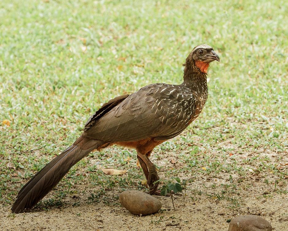 Penelope ochrogaster, Brazil's Pantanal