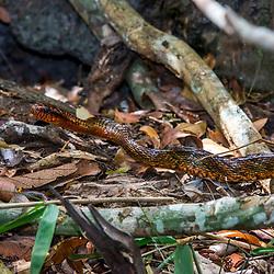 """""""Cobra-papa-ovo (Spilotes sulphureus) fotografado em Linhares, Espírito Santo -  Sudeste do Brasil. Bioma Mata Atlântica. Registro feito em 2015.<br /> <br /> <br /> <br /> ENGLISH: Yellow-bellied Puffing Snake  photographed in Linhares, Espírito Santo - Southeast of Brazil. Atlantic Forest Biome. Picture made in 2015."""""""