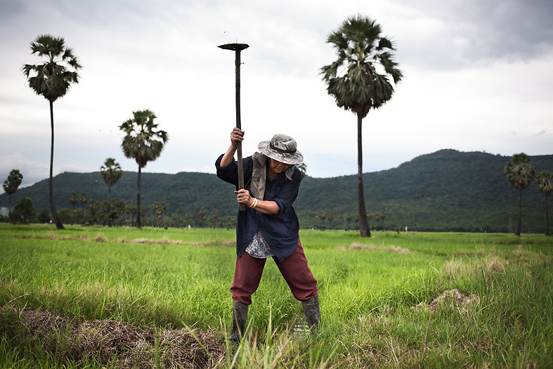An old woman works in a rice plantation in Petchabun. Money is the main reason why many young girls from the area decide to become surrogate mothers.<br /> Petchabun province, Thailand. Aug 25 2014<br /> Credit : Giorgio Taraschi for The New York Times