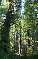 Redwood Forest National Park Northern California USA.