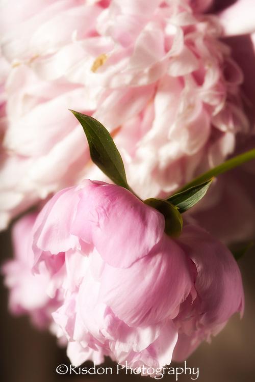 Macro photography of pink peony