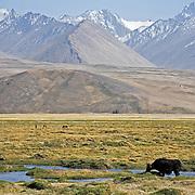 Yaks of Kyrgyz nomadic herders graze on the Pamir plateau, Tajikistan