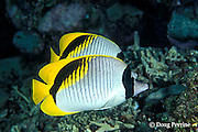 lined butterflyfish, Chaetodon lineolatus, Great Barrier Reef, Australia ( Western Pacific Ocean )