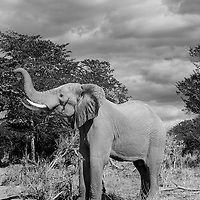 Africa, Botswana, Chobe National Park, Elephant (Loxodonta africana) raises trunk while standing in mopane forest along Chobe River
