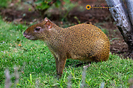 Agouti in Playa del Carmen, Mexico