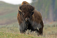 During early spring, the largest of the bison bulls converge on Hayden Valley in Yellowstone National Park.  In late summer, these bulls will spar to determine who will breed with the herd females.  This huge bull is likely one of the most dominant in the valley and will have no problem asserting his authority come August.