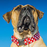 South African Mastiff, Boerboel