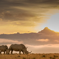 White Rhino in front of Mount Kenya at sunrise in Solio, Laikipia, Kenya