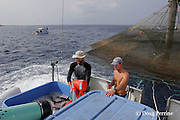 Kona Blue Water Farms co-owner Neil Sims holds a life preserver to cushion fresh live Kona kampachi, Seriola rivoliana, also known as Hawaiian yellowtail, kahala, or almaco jack, shooting through a suction tube as they are harvested from an aquaculture pen; assistant farm manager Kydd Pollock counts the fish as they fall into the ice; Kona Coast, Hawaii Island ( the Big Island ), Hawaiian Islands, USA ( Central Pacific Ocean )