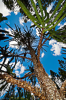 Araucaria (an evergreen coniferous tree), Parc de la Riviere-Bleue (Blue River Provincial Park), Grande Terre, New Caledonia