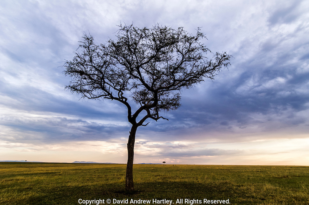 Acacia tree with stormy skies, Masai Mara National Reserve, Kenya