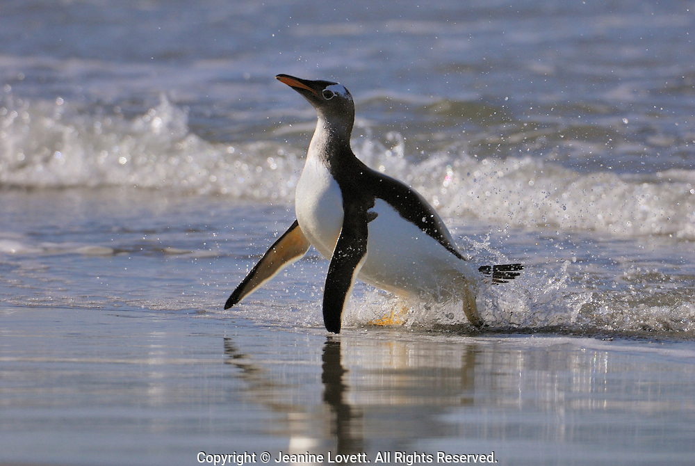 Gentoo penguin stumbles as it comes onto shore.