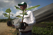 According to FAO, Dominican Republic is the largest producer of organic bananas worldwide, representing more than 55% of the world&rsquo;s organic banana production. Despite being a relatively small player in the global banana market, the Dominican Republic stands out as its most important source of organic bananas, and is therefore a useful demonstration of common implementation methods, their results, and the challenges faced by producers wishing to change to organic methods. <br /> <br /> Banana production is concentrated in the Northwest provinces of Valverde and Monte Cristi, and the Southern prvinces of Azua and Barahona. Approximately 95% of Dominican organic banana exports are shipped to the European Union, making up nearly 50% of its supply.