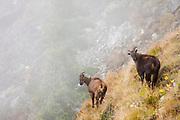 Himalayan Tahr (Hemitragus jemlahicus). Sagarmatha National Park. Solukhumbu District. Nepal.