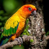 Australian Parrot
