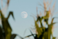Town of Wallkill, New York -The  nearly full moon rises behind  cornfield on Aug. 5, 2017.