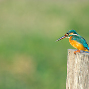 Common Kingfisher, Alcedo atthisin, Phetchaburi, Thailand, Common Kingfisher, Alcedo atthis
