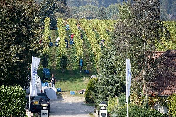 Nederland, Groesbeek, 7-10-2013Bij de biologische wijngaard de Colonjes is men bezig met de druivenoogst van dit seizoen. Ondanks de korte zomer verwacht men een mooie oogst vanwege de vele zonuren. Ook stelt men de kwaliteit boven kwantiteit. plant, grapes; ripe; wijndorp; agriculture; biologisch; landbouw; producten; biologische; produkten; voeding; climate change; dutch; eco; eco-keurmerk; eco-label; ecological; agriculture; label; ecologische; eko; eko-keurmerk; ekologische; landbouw; economic; nederlandse; nederlands; organic; farming; food; products; tros; trossen; wijnoogst; zon; zonnig; weer; opwarming; klimaatverandering; druiventros; tros; nationale; wijnweek; wijndorp; opbrengst; wijnopbrengst; wijnrank; dutch,wijnboerenFoto: Flip Franssen/Hollandse Hoogte