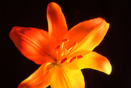 close up of tifer lily agaisnt black background