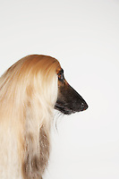 Afghan hound close-up profile