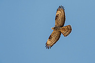 HONEY-BUZZARD Pernis apivorus Wingspan 135-150cm. Feeds exclusively on larvae and adults of bees and wasps. In flight, recalls Buzzard but has proportionately longer tail, with wings held slightly downcurved when soaring. Adult plumage is variable but typically has brownish upperparts, pale underparts, a grey head and evenly barred grey tail. At close range, note yellow eye and longish, narrow bill. In flight from below, note evenly barred tail, dark carpal patch and conspicuous barring on underwing. Juvenile is similar to adult but usually browner overall and with less distinct barring on underwing coverts. Voice – mainly silent. Status and habitat – Summer visitor to Britain, present May-September. Favours mature, open woodland and New Forest is a stronghold.