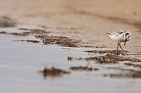 Sandpipers are found on every shore except for Antarctica. You often see them running up and down the beach with the waves searching for food on the Outer Banks.