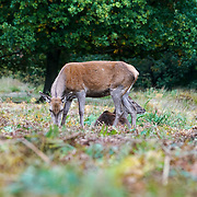 London,England,UK: 21th October 2016: 'Red deer roam the park during the autumnal rutting season' at Richmond park, London,UK. Photo by See Li