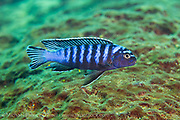Pseudotropheus elongatus, a common mbuna or rock-dwelling cichlid found on rocky reefs around Likoma Island, Lake Malawi, Malawi, Africa.