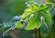 Sweet gum leaves etched in morning frost
