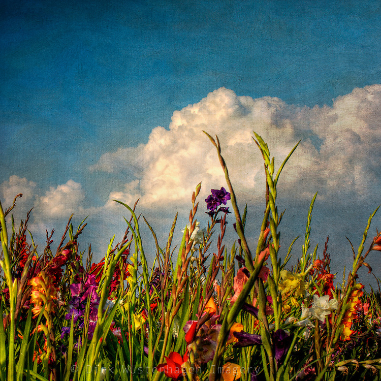 Field of gladioli in bloom. Textured photo.<br />