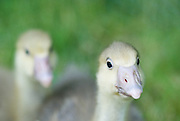 Goslings at Moon in the Pond farm, Sheffield, MA