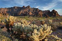 Teddy Bear Cholla cactus (Cylindropuntia bigelovii), Kofa Mountains Wildlife Refuge Arizona