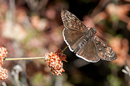 Erynnis tristis - Mournful Duskywing