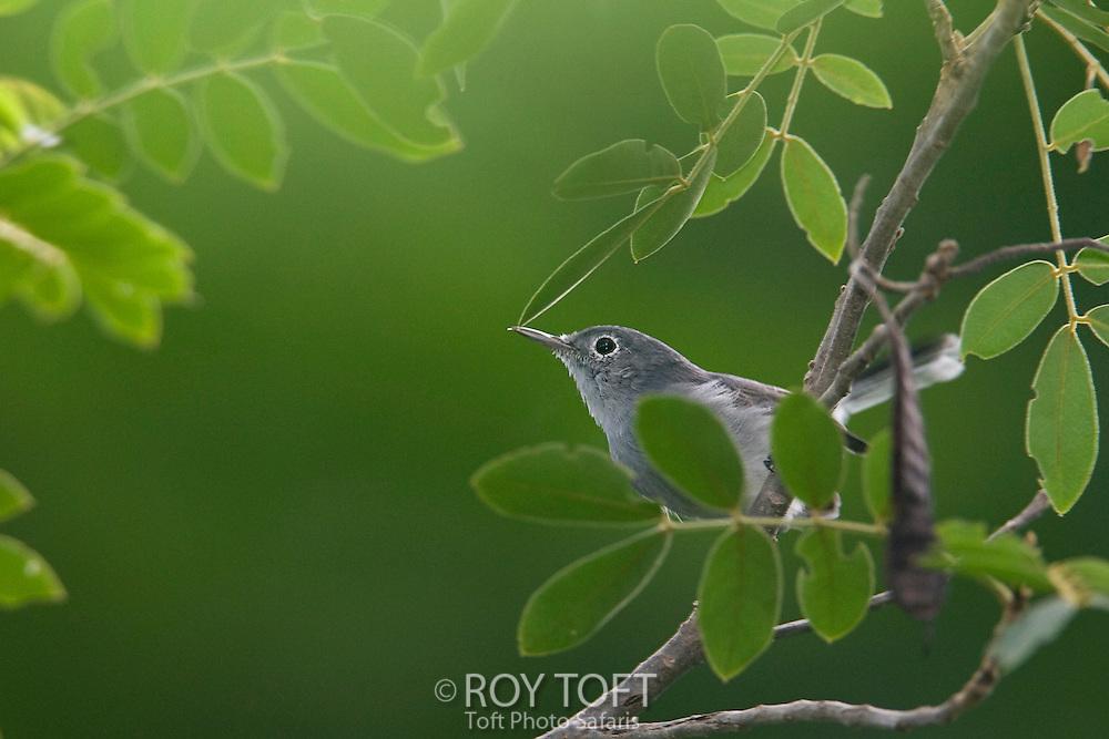 Cozumel blue-gray gnatcatcher perched on a limb, Cozumel, Mexico