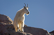 Mountain Goat<br /> Mount Evans Wilderness, Colorado<br /> <br /> The mountain goat is not a true goat, but more closely related to the antelope of Asia, and eastern Europe. This nanny is looking for her three-month old kid.<br /> <br /> Edition of 500