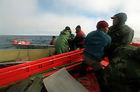039078.AA.0820.warming12.kc--Bering Sea, Off Providenya, Russia--Fishermen do their best to pull the tail of the whale to straighten the mammal out to make it easier to pull to shore. They plan to use the whale for food in the village. The story deals with the enviromental issue of global warming throughout the region of Russia directly across the Bering Sea from Nome, Alaska. The story touches on the people their way of living, the rough economy and the extent they are effected by the slowly warming temperature as documented by scientists.  More Details To Come.