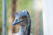 closeup of the head of an Emu (Dromaius novaehollandiae) the largest bird native to Australia