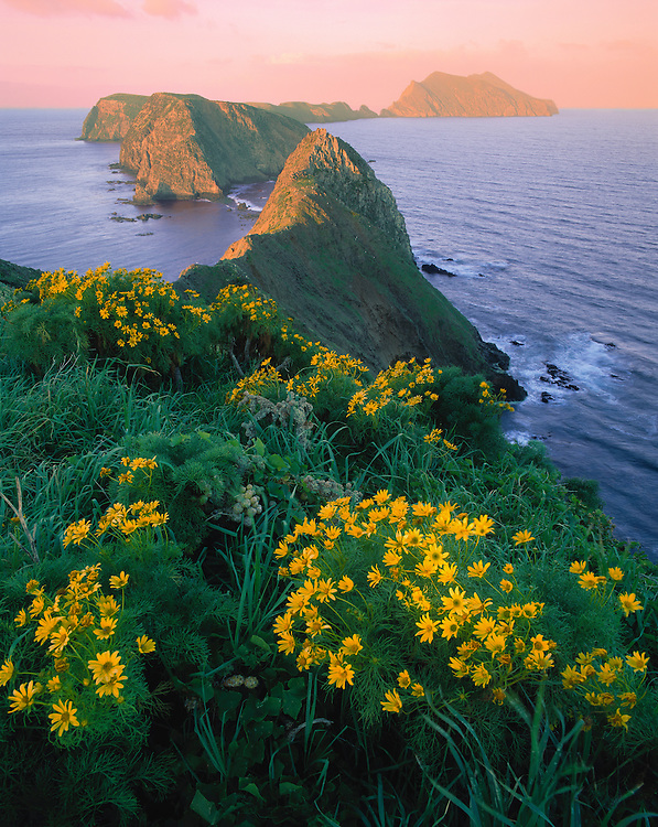 0603-2003LVT ~ Copyright:  George H. H. Huey ~ Anacapa Island.  View west from Inspiration Point at sunrise, with giant coreopsis [Coreopsis gigantea] in bloom.  Channel Islands National Park, California.