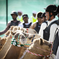 Dubai - United Arabs Emirates - 23 November 2008 ..Robot controled camel race in Dubai...Photo: EZEQUIEL SCAGNETTI..