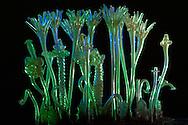 NLD, Niederlande: Tubularia Kolonie, stockbildender Korallenpolyp, dieses Glasmodell stammt aus dem Werk der naturwissenschaftlichen Glaskünstler Leopold Blaschka (1822-1895) und Sohn Rudolf Blaschka (1857-1939). Zwischen 1863 und 1890 entstanden in der Dresdner Werkstatt Tausende Glasmodelle wirbelloser Meerestiere, die ihren Weg in Museen und Universitäten der ganzen Welt fanden. Diese Nachbildungen verblüffen bis heute, denn sie sind morphologisch fehlerfrei und halten naturwissenschaftlichen Betrachtungen bis ins Detail stand - die perfekte Verschmelzung von Kunst und Naturwissenschaft. Die Blaschkas hatten keine Lehrlinge und es gibt keine weiteren Nachfahren. Vater und Sohn haben das Geheimnis ihrer einzigartigen Technik mit ins Grab genommen, Blaschka-Sammlung, Universitätsmuseum Utrecht | NLD, Netherlands: Tubularia colony,  stock forming coral polyp, this glass model originated from the work of the scientific glass artists Leopold Blaschka (1822-1895) and his son Rudolf Blaschka (1857-1939). Between 1863 and 1890 thousands of glass models of invertebrates sea animals developed in the workshop in Dresden, which found their way in museums and universities of the whole world. These reproductions amaze until today, because they are morphologically exact and withstand scientific examinations in detail - the perfect fusion of art and natural science. The Blaschkas didn?t have apprentices and it gives no further descendants. Father and son took the secret of their inimitable technology also in the grave, Blaschka-Collection, University Museum, Utrecht |