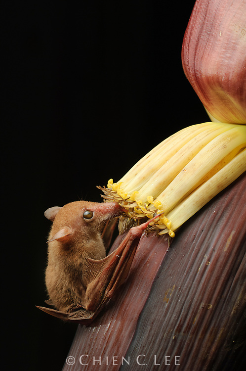 The Long-tongued Nectar Bat (Macroglossus minimus) is an important pollinator of many rainforest trees. Here it is feeding on the nectar of banana flowers.  Sarawak, Malaysia.
