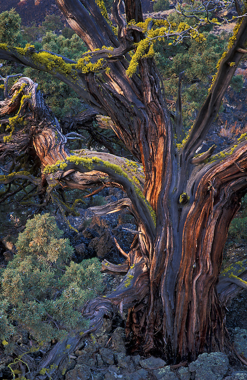 Western Juniper tree, Lava Beds National Monument, California.