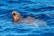 A sub-adult Loggerhead Sea Turtle, Caretta caretta, comes up for air offshore Pico Island, Azores, Portugal, North Atlantic Ocean.