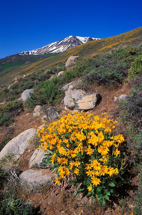 Arrowleaf Balsamroot (Balsamorhize sagittata) in bloom under snowy Sierra Nevada Mountains near June Lake, Inyo National Forest, California