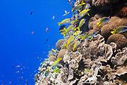 bluestripe snapper (lutjanus kasmira) over pachyseris foliosa coral on tropical coral reef - Agincourt reef, Great Barrier Reef, Queensland, Australia