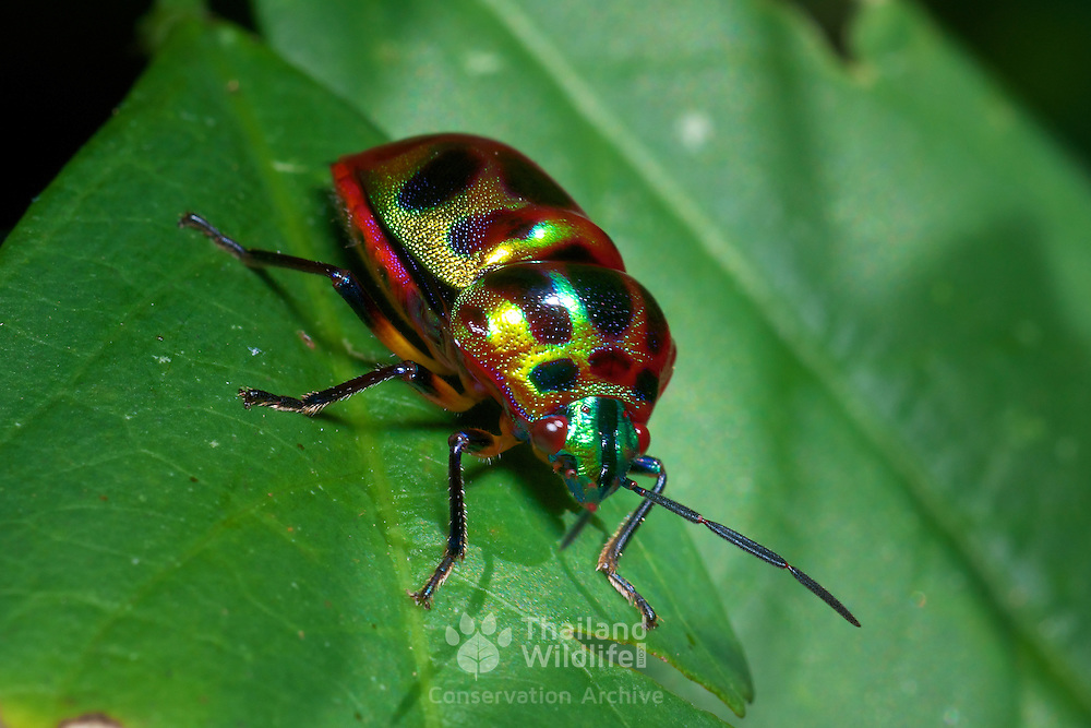Chrysocoris stollii of the family Scutelleridae. It is a polyphagous bug, and is also known as a jewel bug or metallic shield bug due to their often brilliant coloration. .