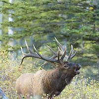 bull elk bugling in fall grass aspen trees